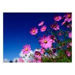 Carte fleurs pink