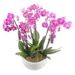 Terrine de 3 orchidées fuchsia