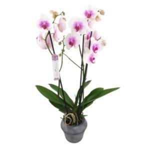 Orchidée blanche coeur pink