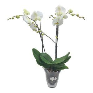 Vase d'orchidée blanche