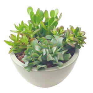 Arrangement plantes grasses