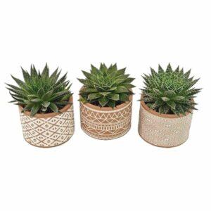 3 Aloe Vera - Mix